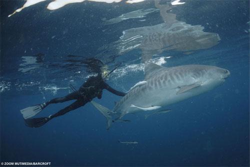 Акулы как хобби: Рис.5
