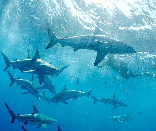 Акулы как хобби: Рис.7