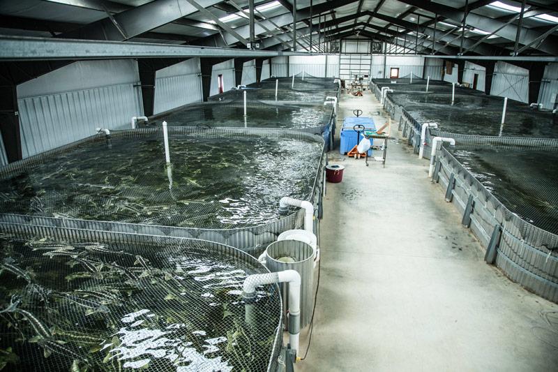 Бизнес на дому выращивание рыбы 90